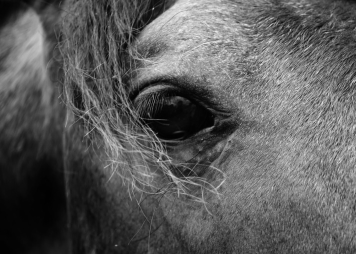 Dark_horse_eye
